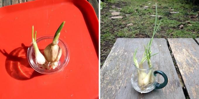 インテリアのポイントに。カンタン水栽培で野菜の芽を楽しむ