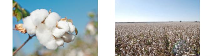 オーガニックコットン、コットン畑の写真