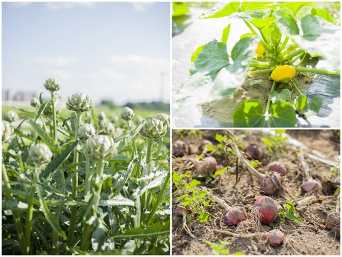 アーティーチョークや、UFOズッキーニなどの珍しい野菜