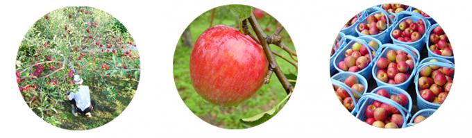 りんご農園とりんご