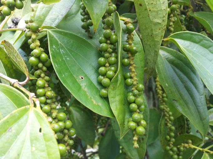 インドネシアのカリマンタンで育った生の胡椒
