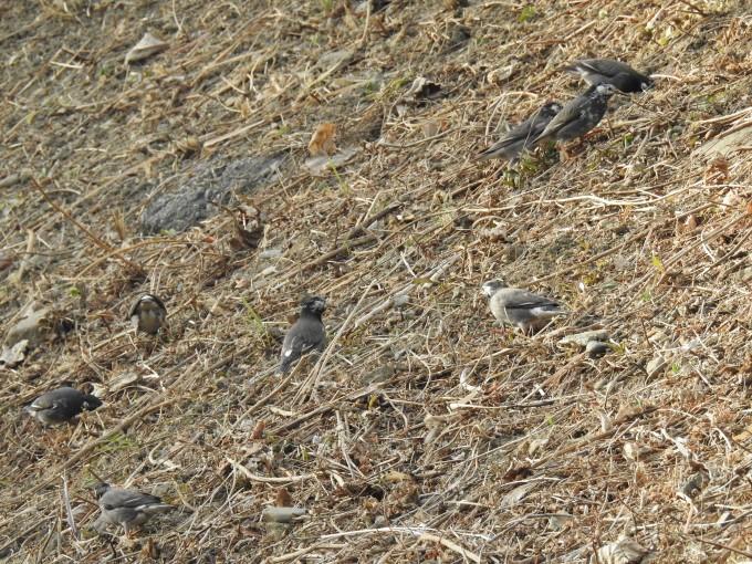群れで餌を探すムクドリ達