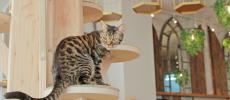 ベンガル柄のネコがいる猫カフェ