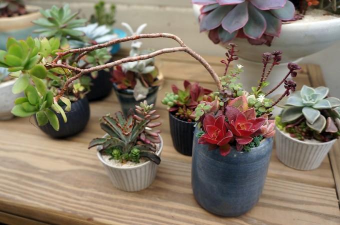 多肉植物ユニットTOKIIROのアトリエに並ぶ多肉植物の鉢植え