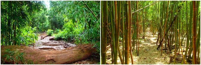 おすすめハイキング、ハワイの森・竹やぶの様子