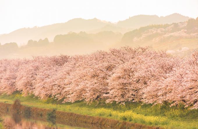 九州の川沿いの桜と菜の花