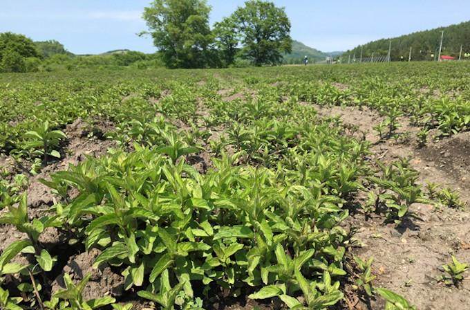 無農薬で栽培される北海道産のハッカ