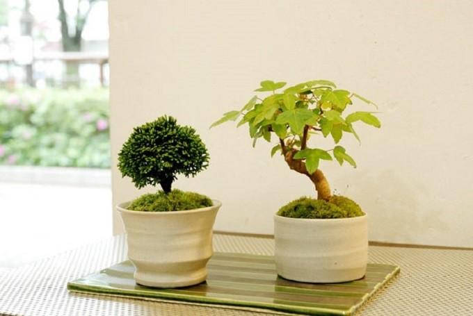 中目黒の盆栽専門店グリーンスケープの盆栽2点