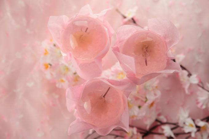 秋田の菓子舗榮太楼の「桜咲く さくらゼリー」と桜