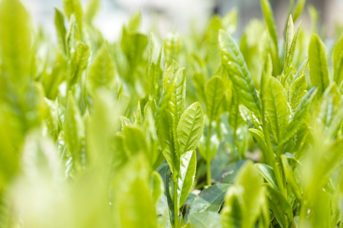 茶畑の緑茶の新芽