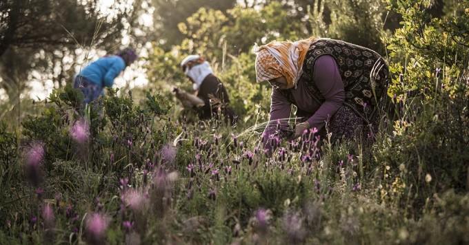 「LE BÉNÉFIQUE」トルコ遊牧民による茶摘み