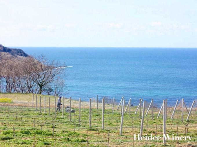 ハイディワイナリーのぶどう畑と、その背後にある日本海の様子