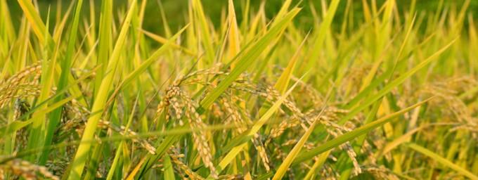 アムリターラの自然栽培玄米で始める玄米