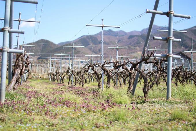 除草剤・殺虫剤・肥料などを一切使用せず、雑草さえ抜かない自然栽培の「くらむぼんワイン」の葡萄畑
