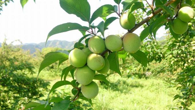 「松本農園」の梅の木に実っている梅の実の様子