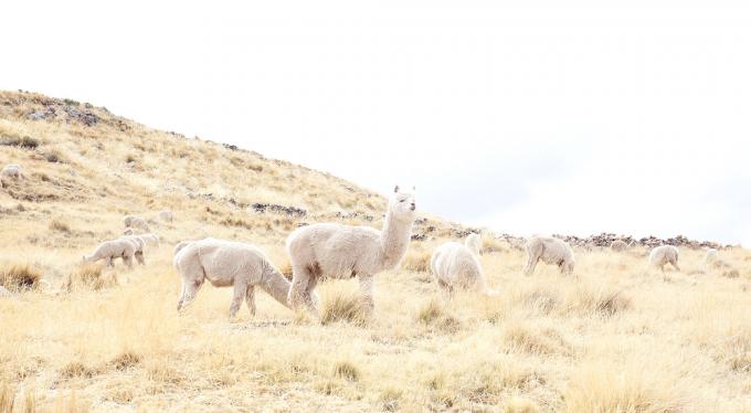 草原のアルパカ数頭