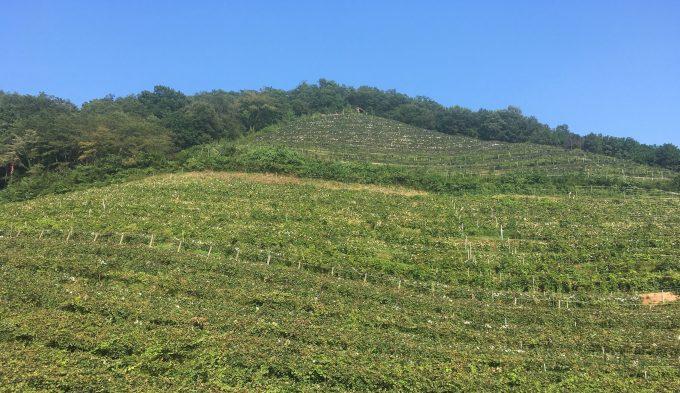 栃木県足利市にある葡萄畑「ココ・ファーム・ワイナリー」