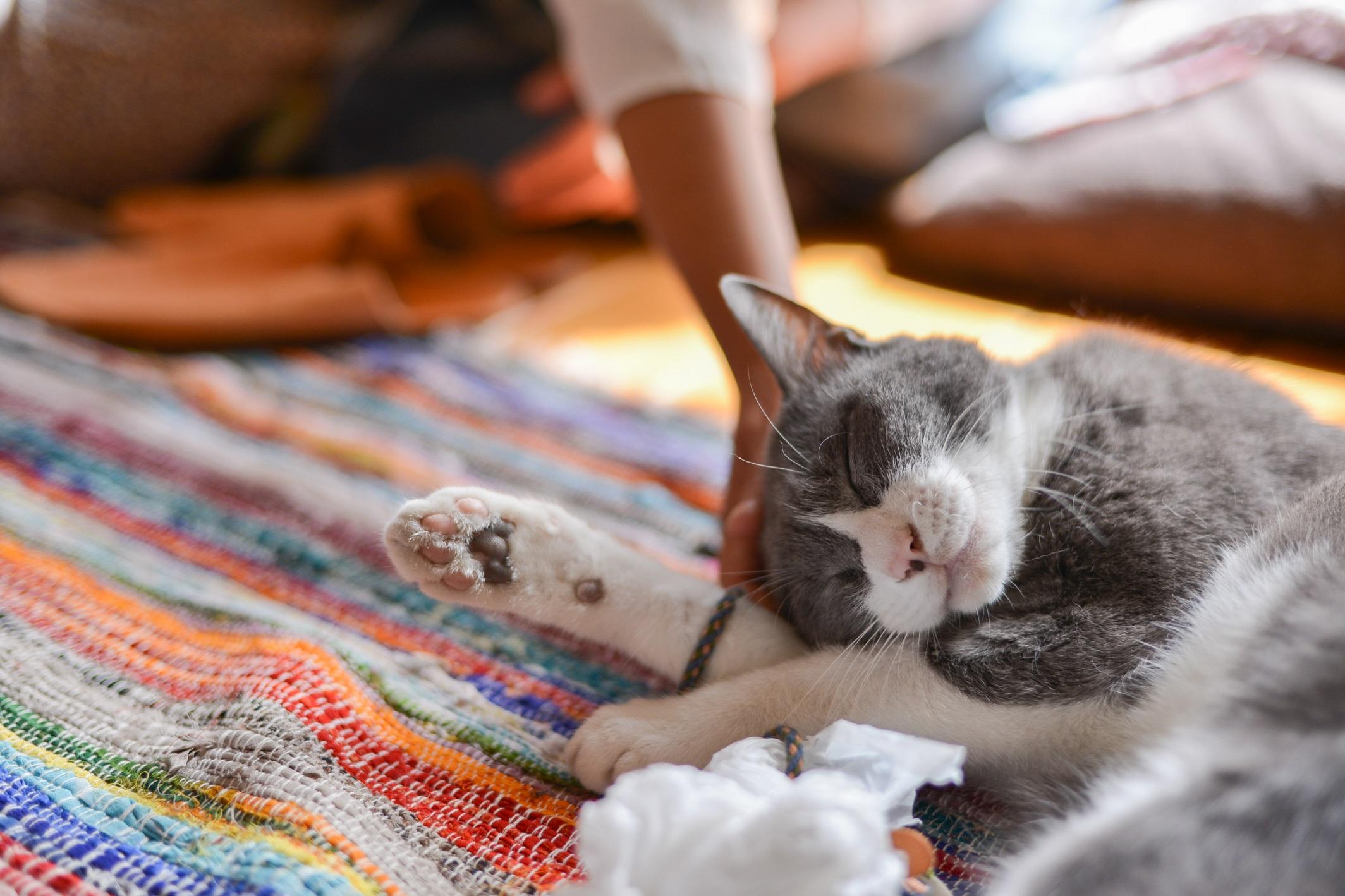 高橋さんに甘える猫のタビくん
