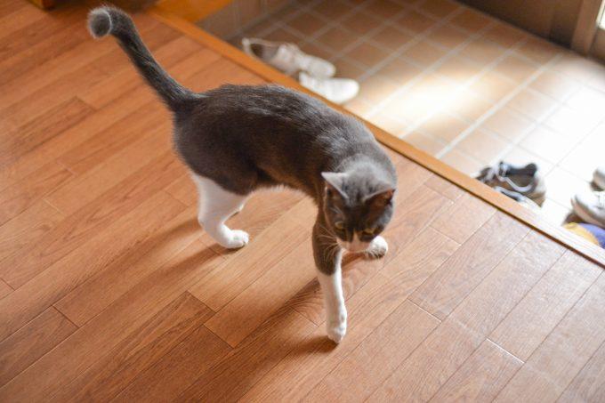 家の中をうろうろする猫のタビくん