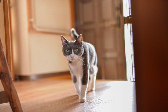 歩いている猫のタビくん