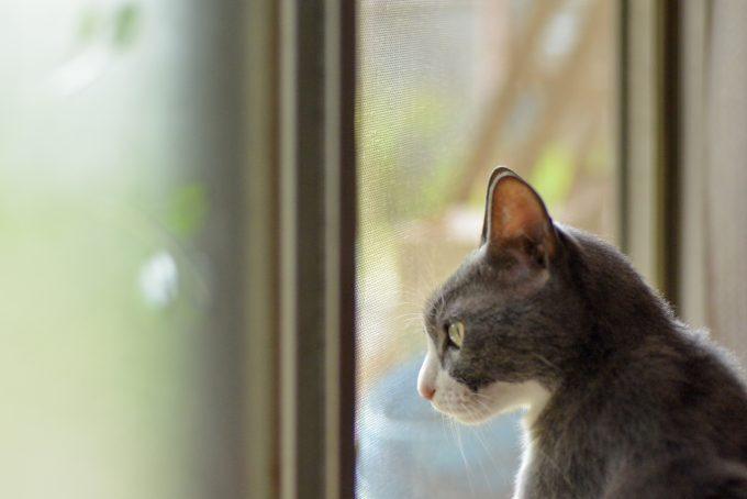 窓から外を眺めている猫のタビくん