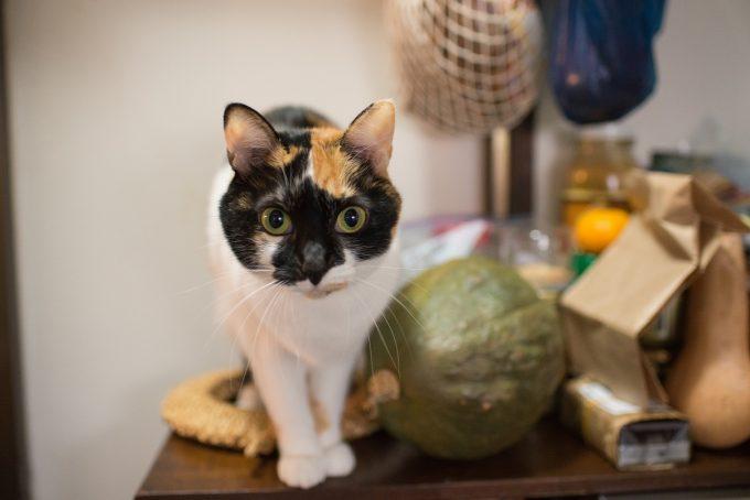 三毛猫のあずきちゃん