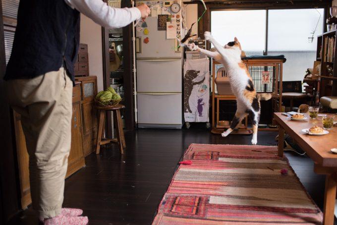 主人と遊ぶ三毛猫のあずきちゃん