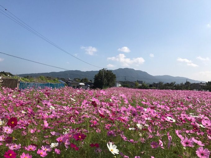 糸島のコスモス畑