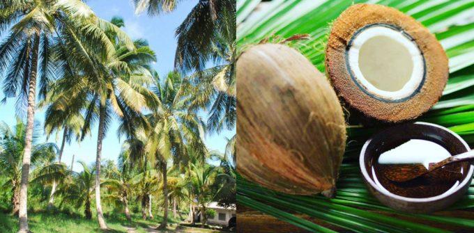 「ナチュランココ」で使用しているココナッツ