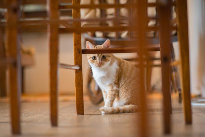 椅子の隙間からこちらを見つける茶トラのかわいい子猫