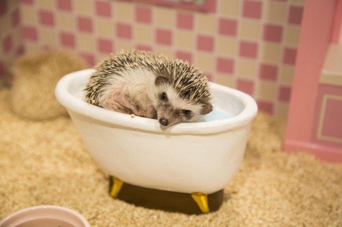 ドールハウスでお風呂に入るハリネズミの写真