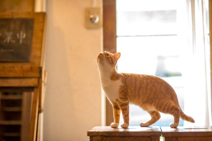 上を見上げる茶トラのかわいい子猫トトちゃん