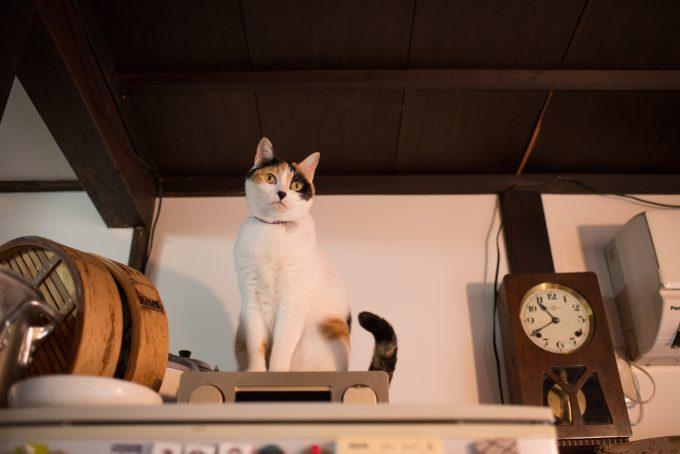 冷蔵庫の上に乗るかわいい三毛猫のささげちゃん