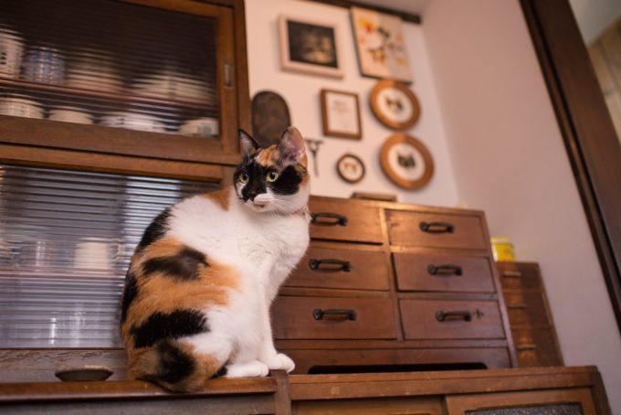 食器棚の上に乗るかわいい三毛猫のあずきちゃん
