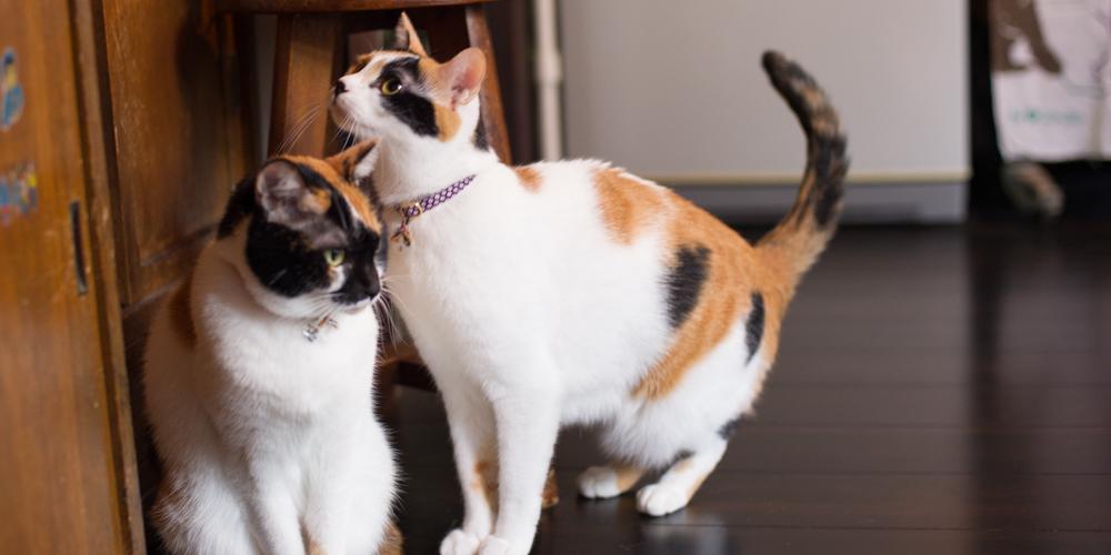 かわいい三毛猫の姉妹