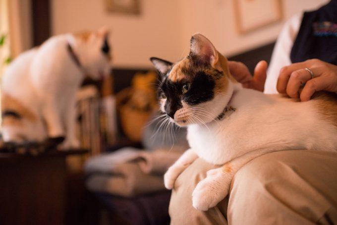 可愛いブラッシングされる三毛猫