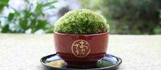 可愛いインテリア「ミニ盆栽×漆器 ちょこぼん」