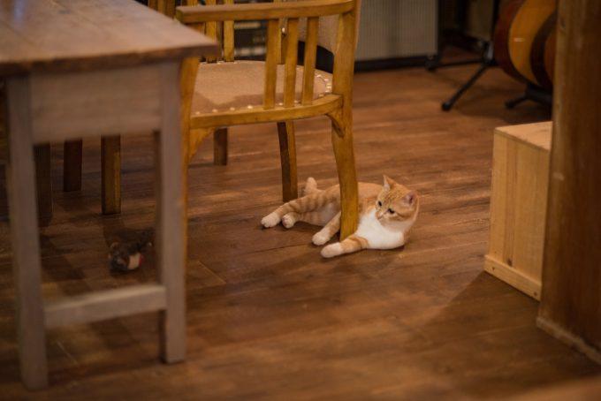 カフェの中でくつろぐ茶トラのかわいい子猫トトちゃん