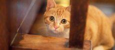 こちらを見つけるかわいい茶トラの子猫トトちゃん