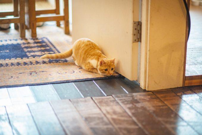廊下で遊び相手を探すかわいい茶トラの子猫トトちゃん