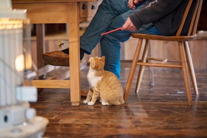 おもちゃで遊ぶ茶トラの子猫トトちゃん