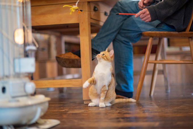 おもちゃに夢中なかわいい茶トラの子猫トトちゃん