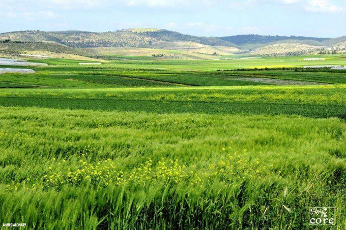 一面に広がる青麦の写真