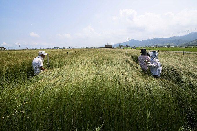 食べられるお箸の原料, 熊本県のいぐさ農家