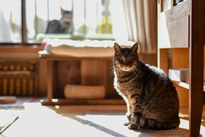 正面を見つめる家の中の猫