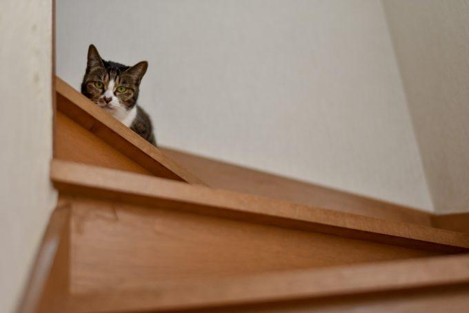 階段上から下を見つめる猫