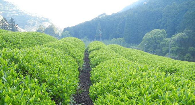 和歌山県熊野地方に1町歩の茶畑を構える「どこでもそら」