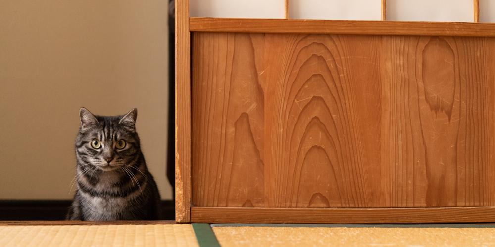 こちらの様子をうかがうかわいい猫のハチ