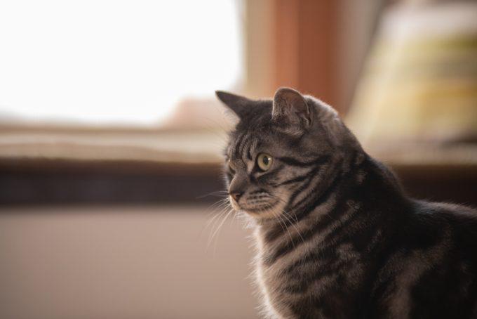 イラストレーター・ユカワアツコさんの愛猫ハチ(オス・5歳)の横顔