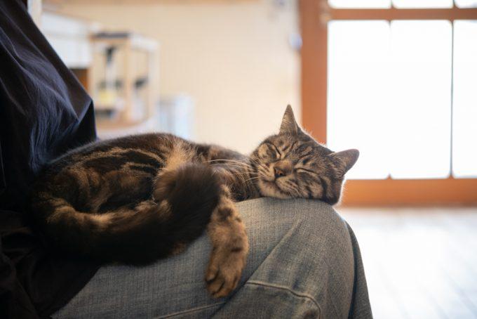 ユカワさんの膝の上で眠るかわいい猫のハチ